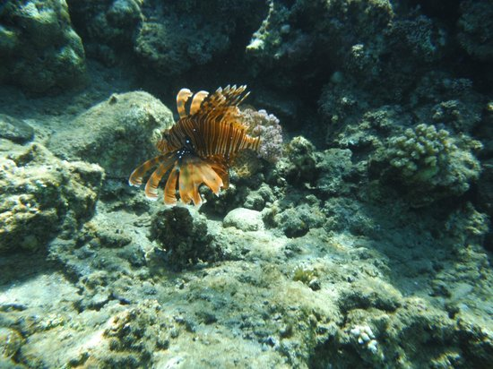 Hilton Sharm Dreams Resort: Red Lionfish - Pterois volitans