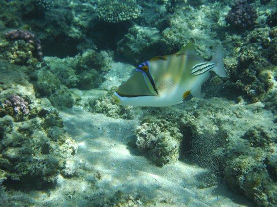 Hilton Sharm Dreams Resort : Arabian Picassofish - Triggerfish - Rhinecanthus assasi