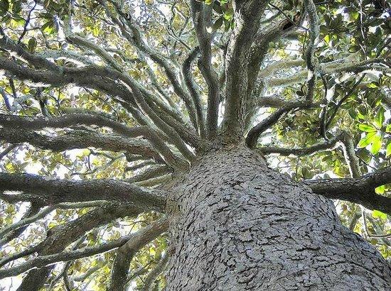Bellamy Mansion : 150+ year magnolia tree