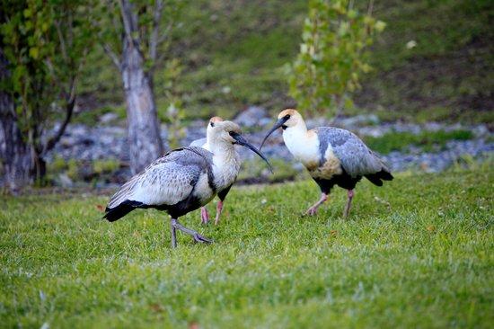 Hotel Mirador del Lago: Aves que frequentam o gramado do hotel