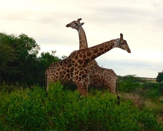 Zulu Nyala Game Lodge: Giraffe