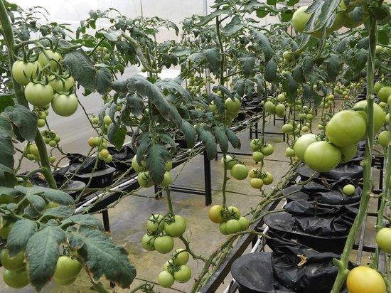 Moonriver Lodge: Tomato Production Block - Farm Tour.