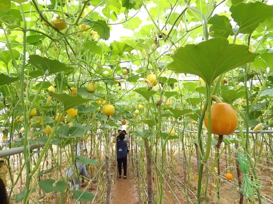 Moonriver Lodge: Farm Tour - Pumpkin growing on vine suspended.
