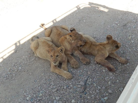 Serengeti Serena Safari Lodge: Lion Cubs trying to stay cool in the shade of the vehicle
