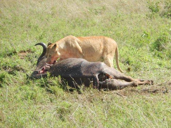 Serengeti Serena Safari Lodge: Lion and Favorite Food Source, Cape Buffalo