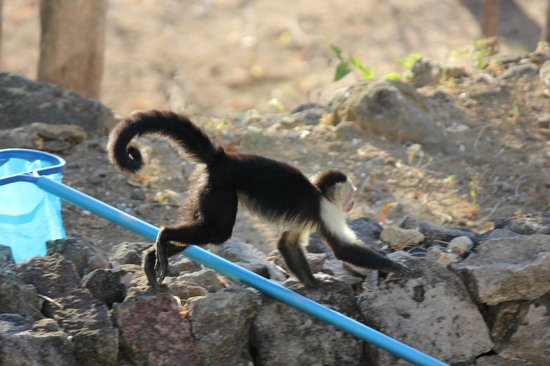 Recreo: Monkey scampering over pool net.