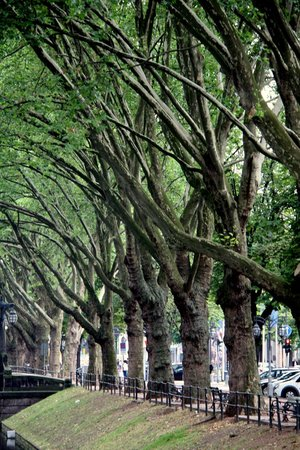 Königsallee (Kö): Деревья вдоль аллеи