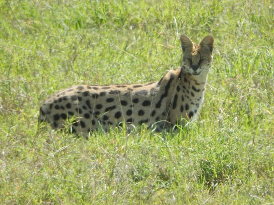 Ngorongoro Wildlife Lodge : Serval in the Crater