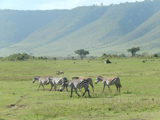 Ngorongoro Wildlife Lodge: Zebras, Crater Rim in Background