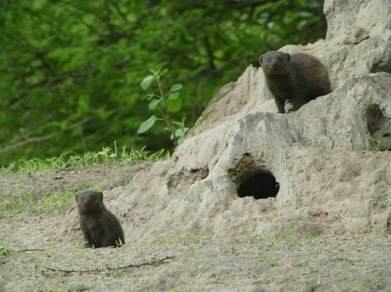 Tshima Bush Camp: take a walk to find the mongoose