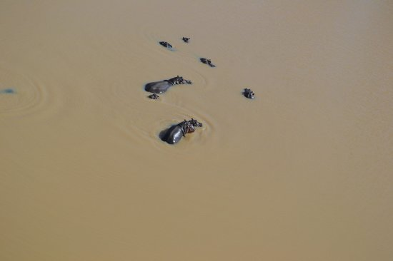 Ol Malo: Hippos from helicopter safari