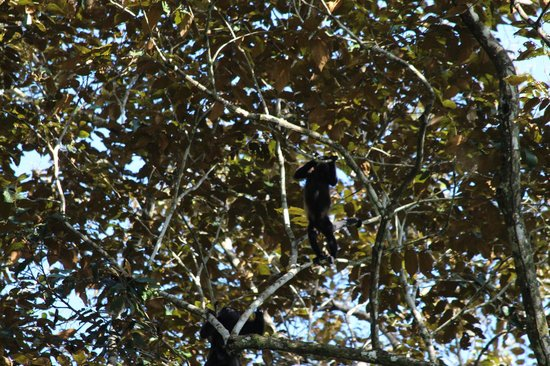 Geckoes Lodge: Howler monkey in the trees outside the villa
