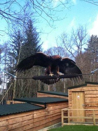 Loch Lomond Bird of Prey Centre: Orla - Golden Eagle - amazing