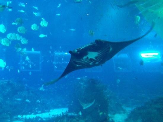 Marine Life Park : raie manta