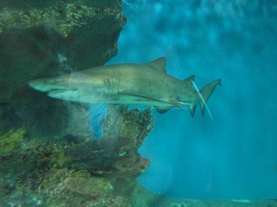 Blue Planet Aquarium: Shark from inside the walkway