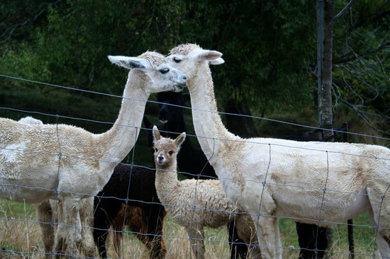 Retiro Park Lodge: Alpacas