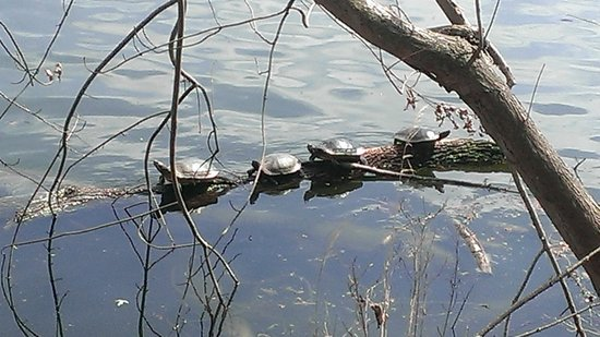 Radnor Lake State Park: Turtles Sunning Themselves