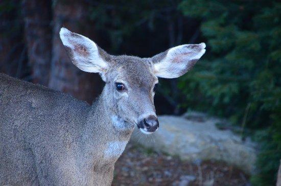 Lake Siskiyou : The deer just weren't concerned with us