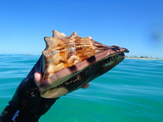 Castaway Cay: A beautiful conch found (and returned!) on the Serenity Bay side.