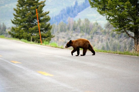 Grizzly Country Wildlife Adventures : Black Bear in Yellowstone