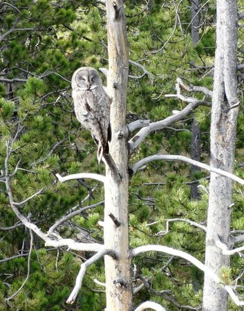 Grizzly Country Wildlife Adventures : Great Grey Owl