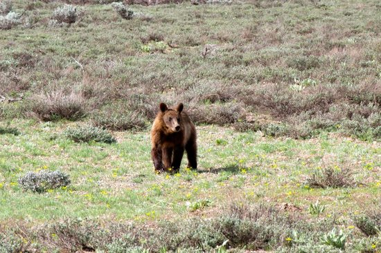 Grizzly Country Wildlife Adventures : Young Grizzly Bear