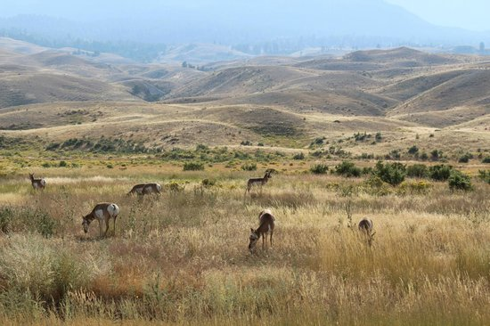 Grizzly Country Wildlife Adventures : Pronghorn