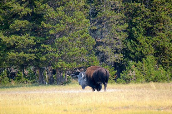 Grizzly Country Wildlife Adventures : Bison Bath
