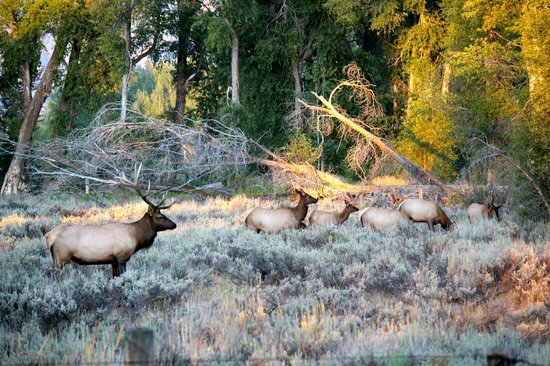 Grizzly Country Wildlife Adventures : Bull Elk in the fall