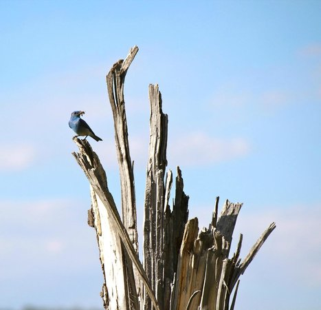 Grizzly Country Wildlife Adventures : Mountain Blue Bird