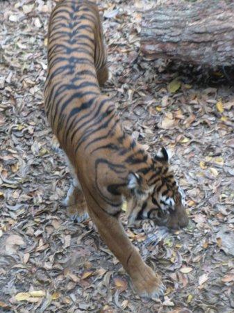 Dallas Zoo: The tiger