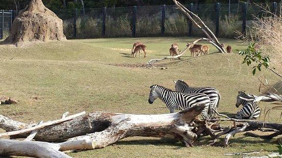Dallas Zoo: Zebras and Deer