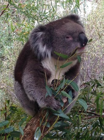 Cleland Wildlife Park : Another hungry Koala