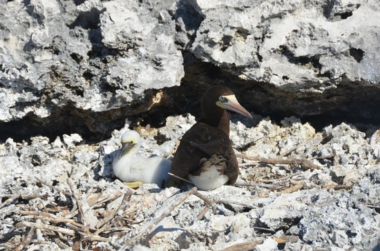 Lighthouse Footpath: Brown Booby with chick