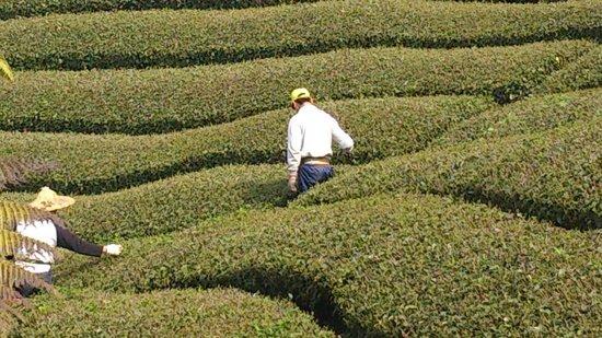 Tianyi : 在茶園工作