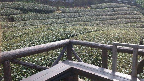 Tianyi : 涼亭棚子欣賞茶園風光