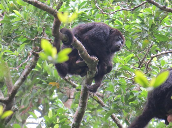 Ecological Tours & Services: Howler Monkeys