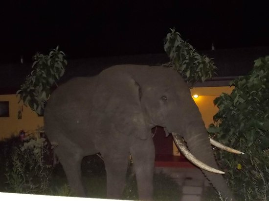 Ngorongoro Rhino Lodge: Elephant that came to eat in the courtyard of the hotel