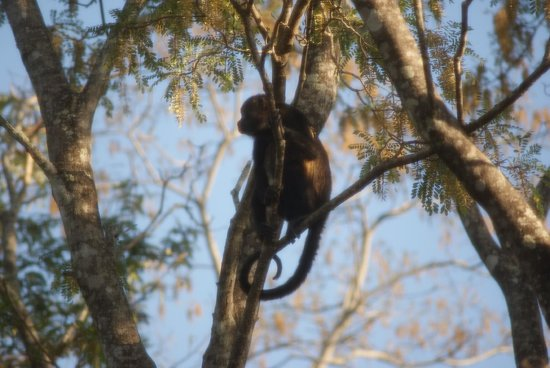 Hotel Capitan Suizo: Many monkeys on the property - in late afternoon