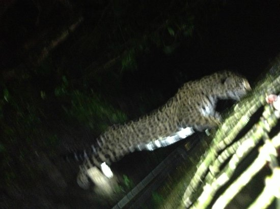 Belize Zoo Jungle Lodge/Tropical Education Center : Night Tour at Zoo...
