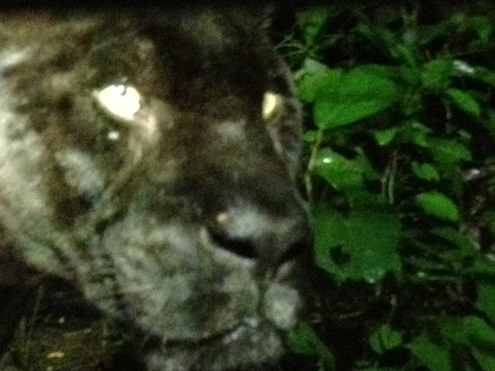 Belize Zoo Jungle Lodge/Tropical Education Center: Lucky the Black Panther at the Zoo's Night Tour