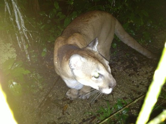 Belize Zoo Jungle Lodge/Tropical Education Center: Lion on the Zoo's Night Tour