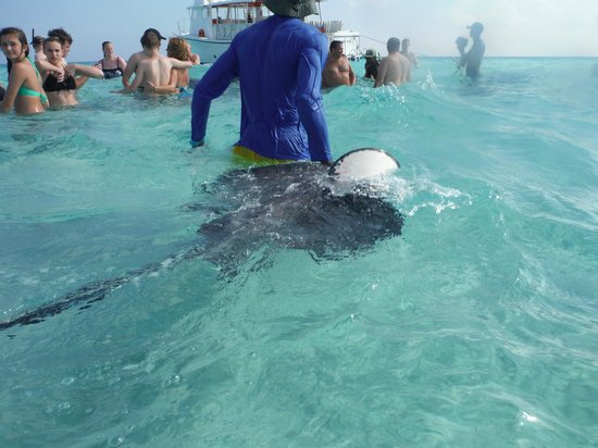 Captain Marvin's : Our guide bringing over a ray