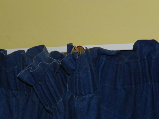 Bravo Caracol: crab on the curtain
