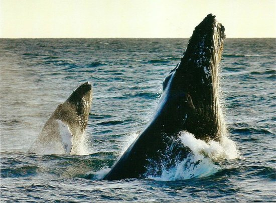 Cabo Mar Fiesta Dinner Cruise : humpback mom and calf, while on dinner cruise Mar 13, 2014