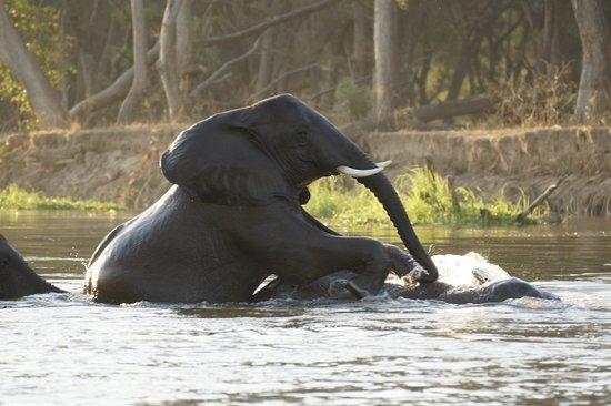 Chiawa Camp: spielende elefanten im sambesi