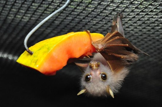 Atherton, Australië: Young tube-nosed fruit bat