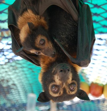 The Bat Hospital Visitor Centre : Mother and baby Spectacled flying fox