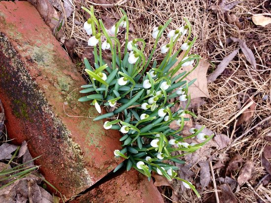 Colonial House on Main Bed & Breakfast : Early spring - snowdrops by the steps to the front door