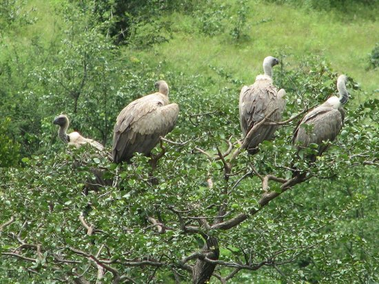 Victoria Falls Safari Lodge: Vultures getting ready for lunch